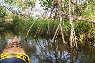 Paddling into the mangroves of Sao Paulo Brazil